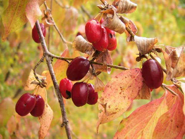 Дрен плод