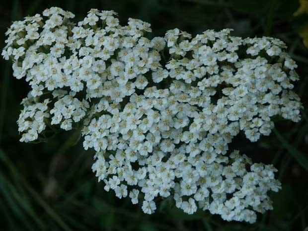 Hajdučica - Achillea Millefolium