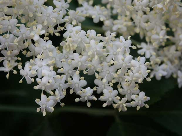 Zova cvet