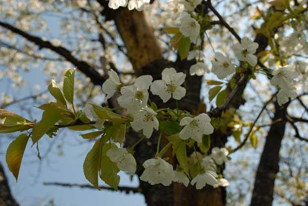 Cvet divlje trešnje