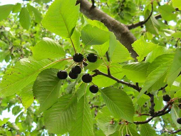 Плод дивље трешње