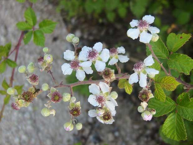 Kupina cvet
