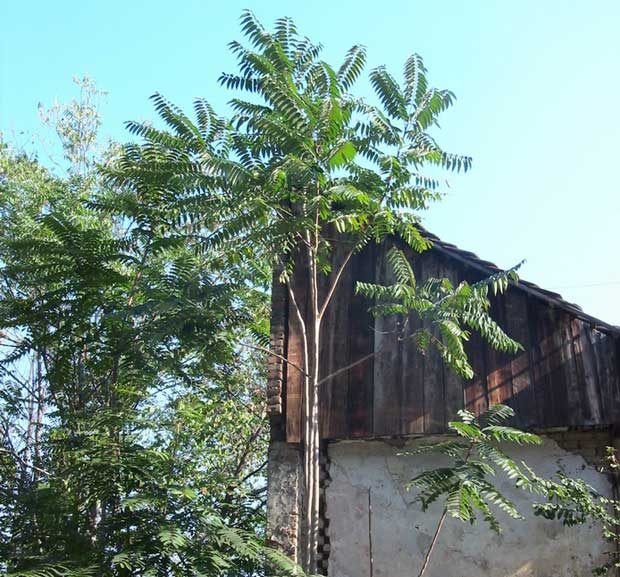 Кисело дрво