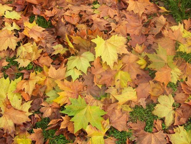 Лишће платана