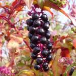 Винобојка плод